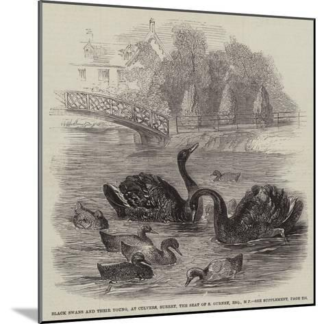 Black Swans and their Young, at Culvers, Surrey, the Seat of S Gurney, Esquire, Mp--Mounted Giclee Print