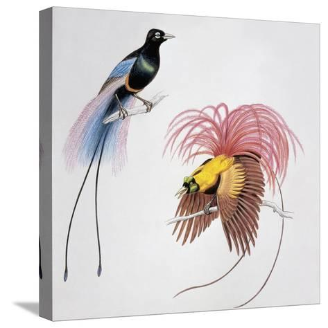 Close-Up of a Blue Bird of Paradise (Paradisea Rudolphi) with a Red Bird of Paradise (Paradisea Rub--Stretched Canvas Print