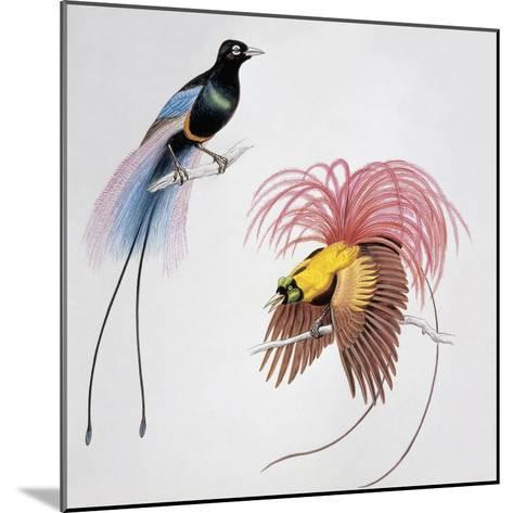 Close-Up of a Blue Bird of Paradise (Paradisea Rudolphi) with a Red Bird of Paradise (Paradisea Rub--Mounted Giclee Print
