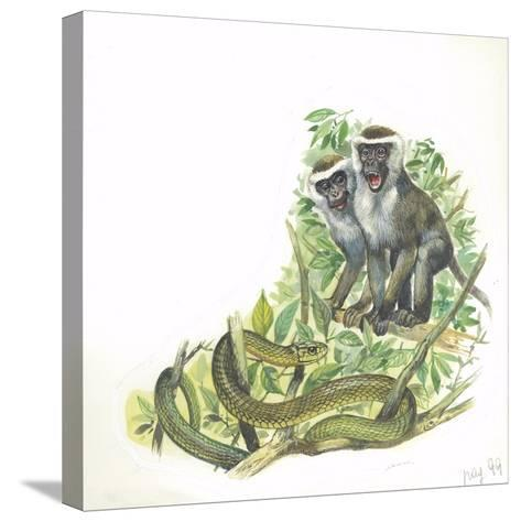 Vervet or Green Monkeys Chlorocebus Aethiops Giving Alarm Calls to Signal the Presence of Snake--Stretched Canvas Print
