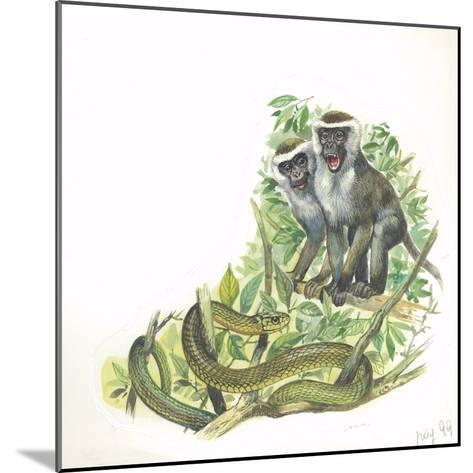 Vervet or Green Monkeys Chlorocebus Aethiops Giving Alarm Calls to Signal the Presence of Snake--Mounted Giclee Print
