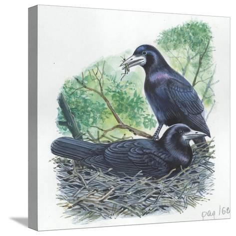 Couple of Rooks Corvus Frugilegus, Male Brings Food to Female While She Is Incubating Eggs--Stretched Canvas Print