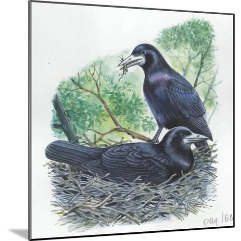 Couple of Rooks Corvus Frugilegus, Male Brings Food to Female While She Is Incubating Eggs--Mounted Giclee Print