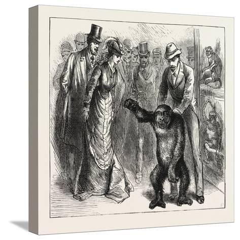 A Distinguished Visitor at Liverpool, the Young Gorilla Holding a Reception in the Museum, 1876, Uk--Stretched Canvas Print