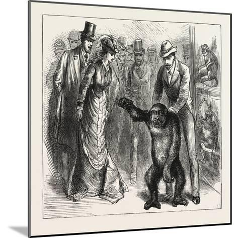 A Distinguished Visitor at Liverpool, the Young Gorilla Holding a Reception in the Museum, 1876, Uk--Mounted Giclee Print
