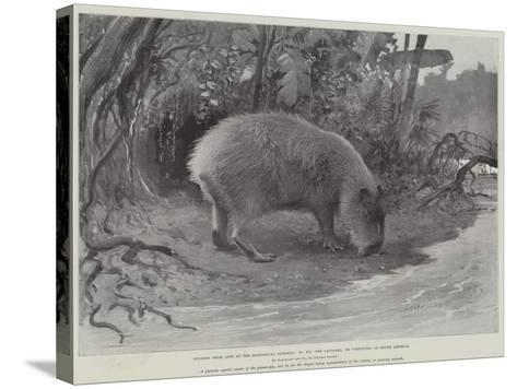 Studies from Life at the Zoological Gardens, the Capibara, or Carpincho, of South America--Stretched Canvas Print