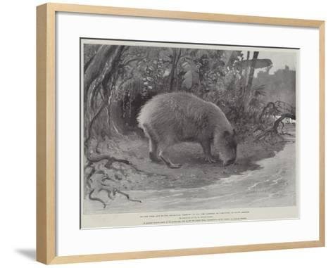 Studies from Life at the Zoological Gardens, the Capibara, or Carpincho, of South America--Framed Art Print