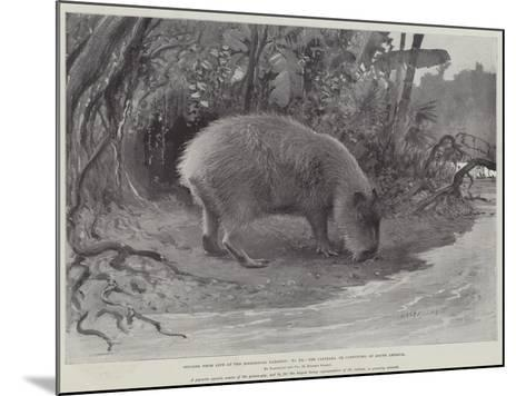 Studies from Life at the Zoological Gardens, the Capibara, or Carpincho, of South America--Mounted Giclee Print