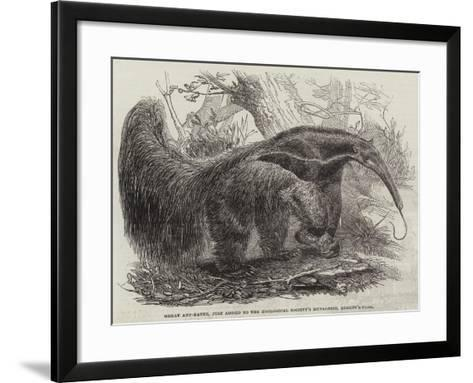 Great Ant-Eater, Just Added to the Zoological Society's Menagerie, Regent'S-Park--Framed Art Print
