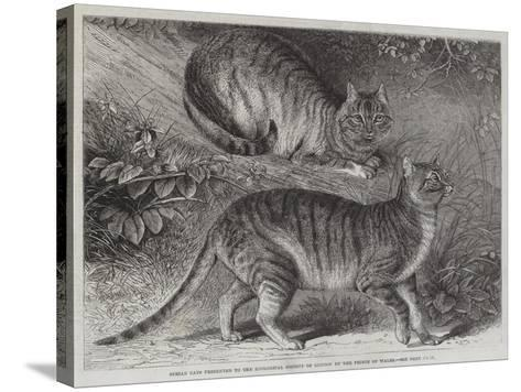 Syrian Cats Presented to the Zoological Society of London by the Prince of Wales--Stretched Canvas Print