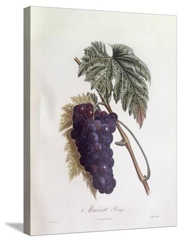 Black Muscat Grapes Henry Louis Duhamel Du Monceau, Botanical Plate by Pierre Jean Francois Turpin--Stretched Canvas Print