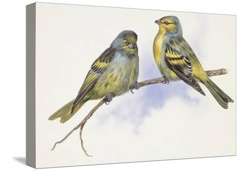 Zoology: Birds, Corsican Finch (Carduelis Corsicana) and European Goldfinch (Carduelis Carduelis)--Stretched Canvas Print