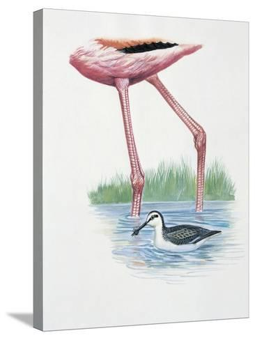 Greater Flamingo (Phoenicopterus Ruber) and a Red-Necked Phalarope (Phalaropus Lobatus) in a Pond--Stretched Canvas Print
