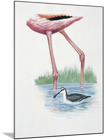 Greater Flamingo (Phoenicopterus Ruber) and a Red-Necked Phalarope (Phalaropus Lobatus) in a Pond--Mounted Giclee Print