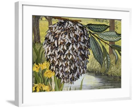 Female Water Snipe Flies Clumping Together for Egg Laying Near Water (Atherix Ibis), Athericidae--Framed Art Print