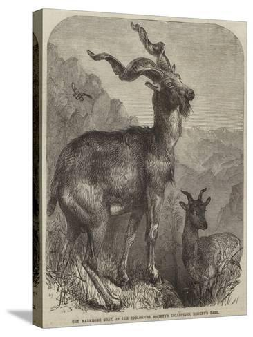 The Markhore Goat, in the Zoological Society's Collection, Regent's Park--Stretched Canvas Print