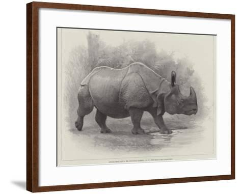 Studies from Life at the Zoological Gardens, the Great Indian Rhinoceros--Framed Art Print