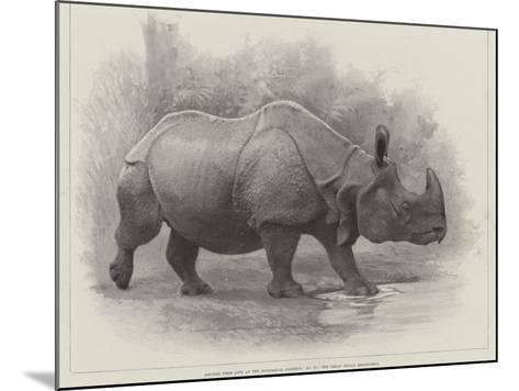 Studies from Life at the Zoological Gardens, the Great Indian Rhinoceros--Mounted Giclee Print