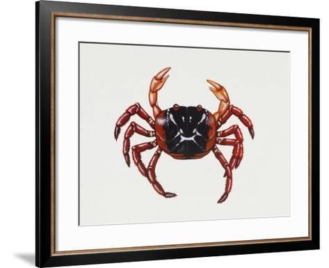 Christmas Island Red Crab (Gecarcoidea Natalis), Gecarcinidae, Artwork by Rebecca Hardy--Framed Art Print