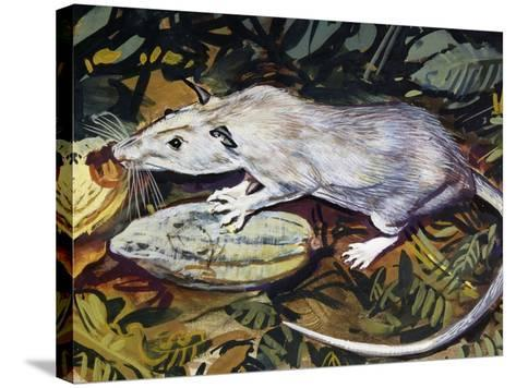 Gambian Pouched Rat or African Giant Pouched Rat (Cricetomys Gambianus), Nesomyidae--Stretched Canvas Print