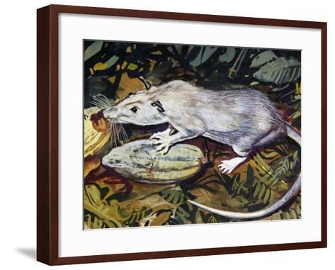 Gambian Pouched Rat or African Giant Pouched Rat (Cricetomys Gambianus), Nesomyidae--Framed Art Print