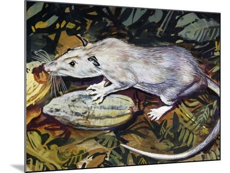 Gambian Pouched Rat or African Giant Pouched Rat (Cricetomys Gambianus), Nesomyidae--Mounted Giclee Print