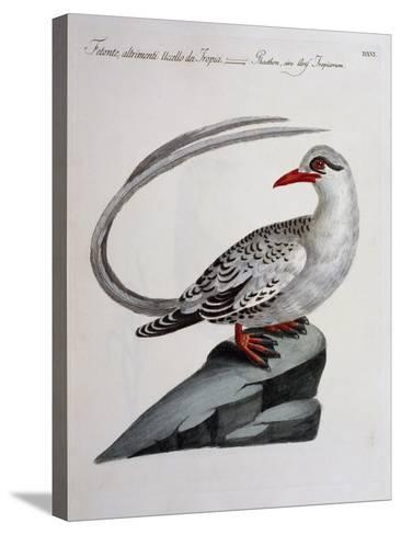 Red-Billed Tropicbird (Phaethon Aethereus), Coloured from History of Birds, 1767, Table 516--Stretched Canvas Print