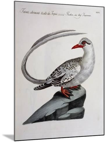 Red-Billed Tropicbird (Phaethon Aethereus), Coloured from History of Birds, 1767, Table 516--Mounted Giclee Print