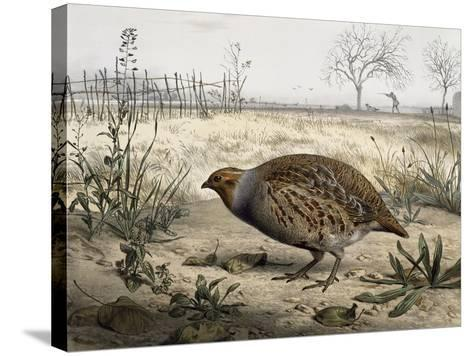 Grey Partridge, Coloured by Edouard Travies (Born in 1806), France, 19th Century--Stretched Canvas Print