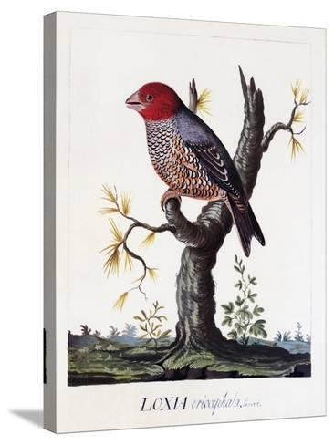 Loxia Erythrocephala (Amadina Erythrocephala), Red-Headed Finch, Watercolour--Stretched Canvas Print