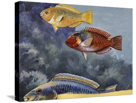 Rivulated Parrotfish or Tattooed Parrotfish (Scarus Rivulatus or Callyodon Fasciatus), Scaridae--Stretched Canvas Print