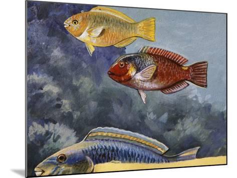 Rivulated Parrotfish or Tattooed Parrotfish (Scarus Rivulatus or Callyodon Fasciatus), Scaridae--Mounted Giclee Print