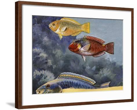 Rivulated Parrotfish or Tattooed Parrotfish (Scarus Rivulatus or Callyodon Fasciatus), Scaridae--Framed Art Print