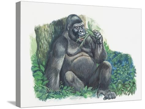 Close-Up of a Gorilla Sitting in the Forest and Eating Leaves (Gorilla Gorilla)--Stretched Canvas Print