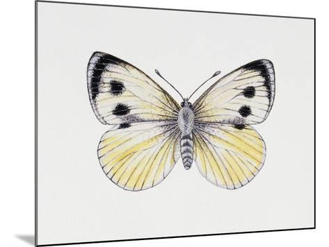 Large White Butterfly (Pieris Brassicae), Pieridae, Artwork by Rebecca Hardy--Mounted Giclee Print