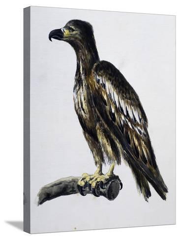White-Tailed Eagle (Haliaeetus Albicilla), Watercolour, France, 18th Century--Stretched Canvas Print