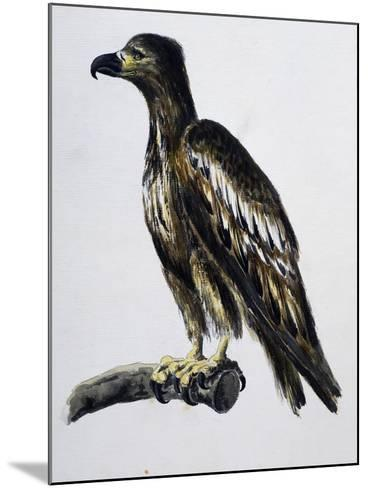 White-Tailed Eagle (Haliaeetus Albicilla), Watercolour, France, 18th Century--Mounted Giclee Print