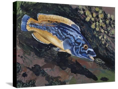 East Atlantic Peacock Wrasse (Crenilabrus Pavo or Symphodus Tinca), Labridae--Stretched Canvas Print