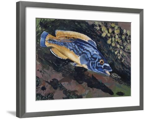East Atlantic Peacock Wrasse (Crenilabrus Pavo or Symphodus Tinca), Labridae--Framed Art Print