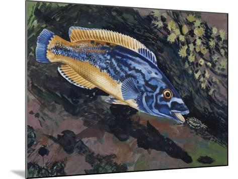 East Atlantic Peacock Wrasse (Crenilabrus Pavo or Symphodus Tinca), Labridae--Mounted Giclee Print