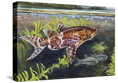 Blotched Upside-Down Catfish (Synodontis Nigriventris), Mochokidae--Stretched Canvas Print