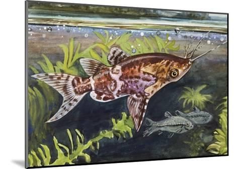Blotched Upside-Down Catfish (Synodontis Nigriventris), Mochokidae--Mounted Giclee Print