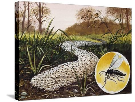 Column of Larvae of Fungus Gnats (Sciara Mmlitaris) Migrating to Pupation Sites, Sciaridae--Stretched Canvas Print