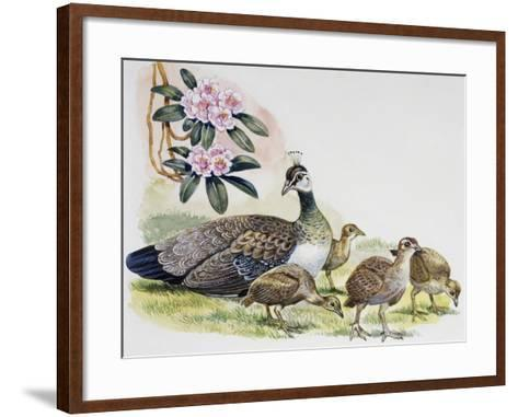 Oeahen and Chicks of Indian Peafowl or Blue Peafowl ((Pavo Cristatus), Phasianidae--Framed Art Print