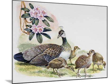 Oeahen and Chicks of Indian Peafowl or Blue Peafowl ((Pavo Cristatus), Phasianidae--Mounted Giclee Print