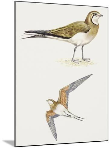 Birds: Charadriiformes, Collared Pratincole, (Glareola Pratincola)--Mounted Giclee Print
