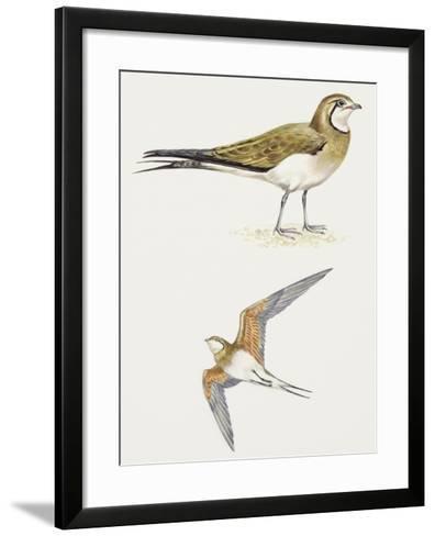 Birds: Charadriiformes, Collared Pratincole, (Glareola Pratincola)--Framed Art Print