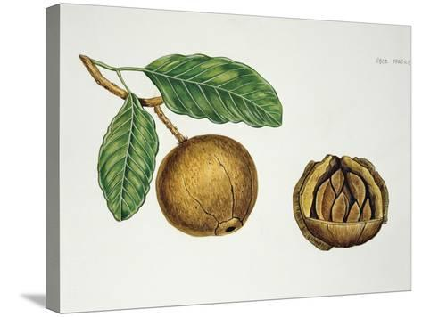 Botany, Lecythidaceae, Fruit of the Brazil Nut Bertholletia Excelsa, Cross-Section--Stretched Canvas Print