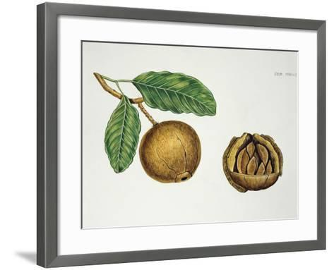 Botany, Lecythidaceae, Fruit of the Brazil Nut Bertholletia Excelsa, Cross-Section--Framed Art Print