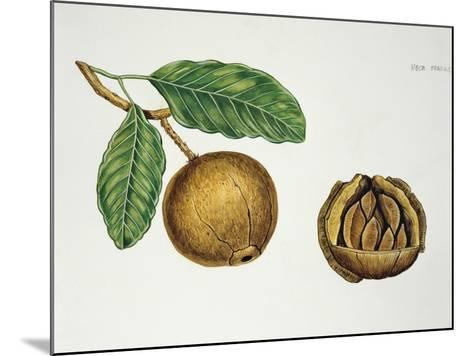 Botany, Lecythidaceae, Fruit of the Brazil Nut Bertholletia Excelsa, Cross-Section--Mounted Giclee Print